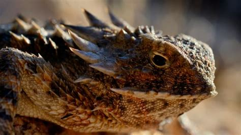 BBC - Earth - If it has to, a horned lizard can shoot