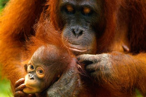 Stunning Photos and Facts About Orangutans   Reader's Digest