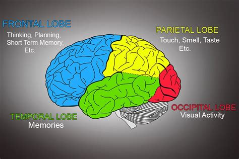Cerebrum: Definition, Anatomy and Function » Science ABC