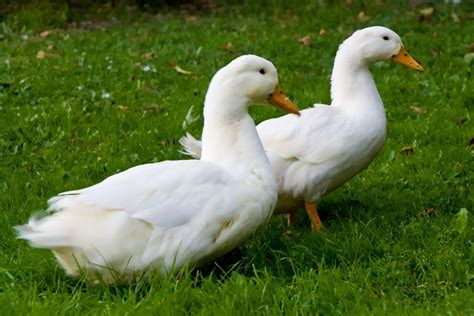 Ducks - General health and well being   Pets4Homes