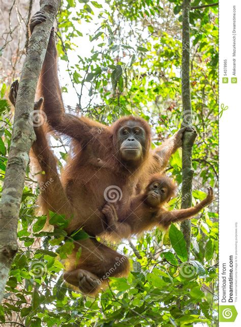 Female Orangutan With A Baby Hanging On A Tree Stock Photo